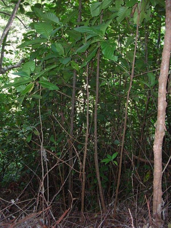 drzewo chinowe